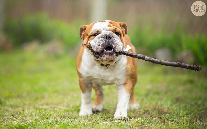 How to Know Bulldog Dog Breed? All About Bulldogs