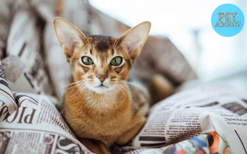 Characteristics of the Abyssinian Cat