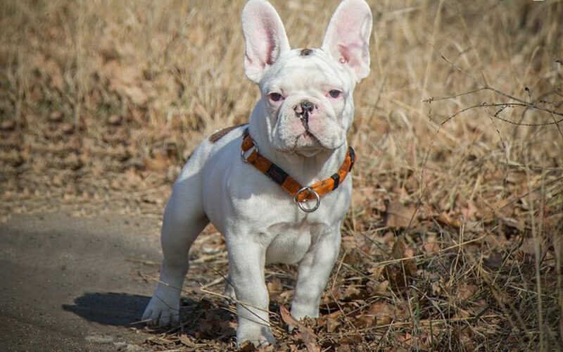How Much Does French Bulldog Cost? Facts About It