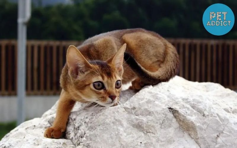 How are Abyssinian Cat suitable for owners