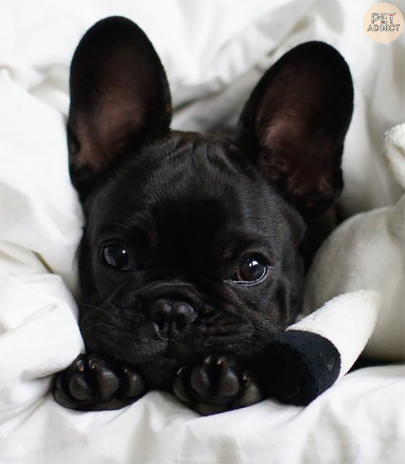 How to Raise a French Bulldog
