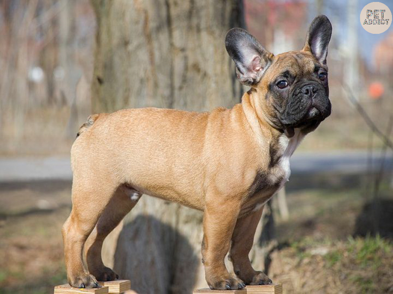 Where DoFrench Bulldogs Come From
