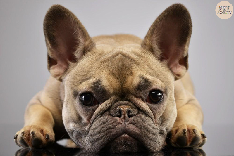 How to Raise a French Bulldog? Facts About It