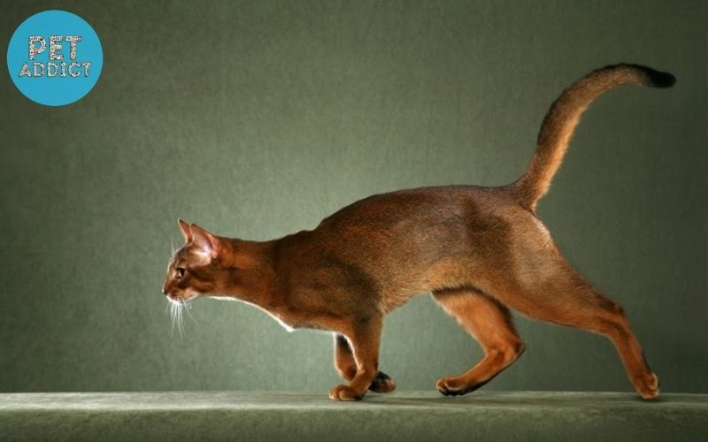 Personality characteristics of the Abyssinian Cat