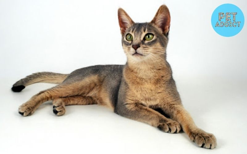 Where did the Abyssinian Cat come from