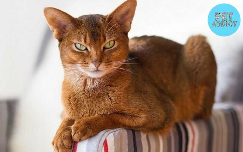 Abyssinian Cat – Things to Know Before Buying It