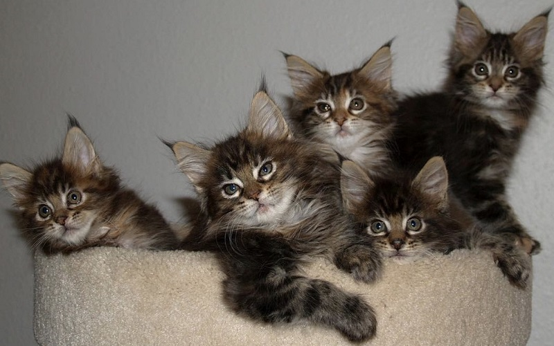 American-Bobtail-cat-the-smartest-cat-breed-in-the-world