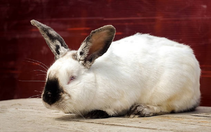 Details-of-the-latest-California-Rabbit-in-2021