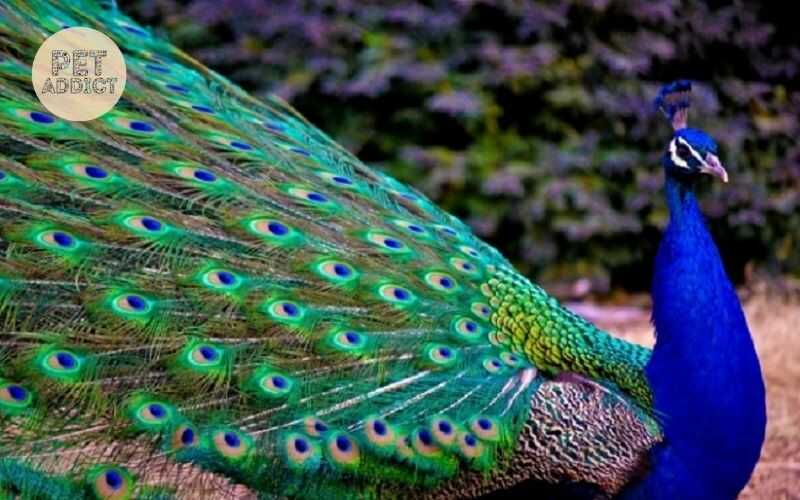 What is Indian Peacock? Interesting Facts About It