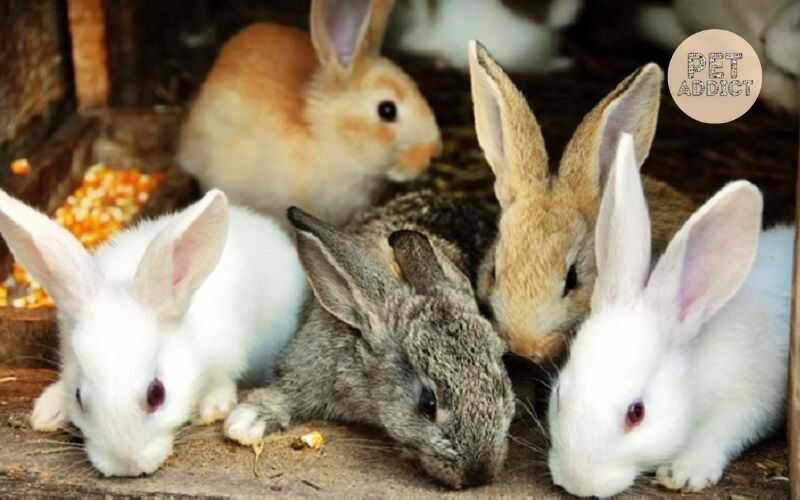 How to Know New Zealand Rabbit Breed?