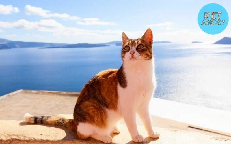 Aegean Cat – Things To Know About Aegean Cat Breed