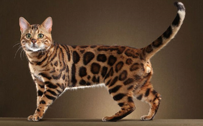 Bengal Cat-Full information,  History, Facts, and Care