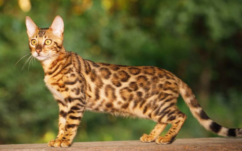 History of the Bengal Cat