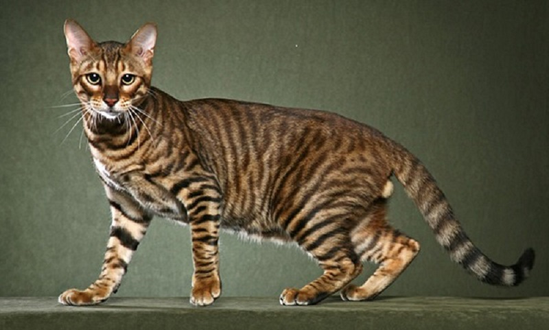 History-of-the-Toyger-Cat