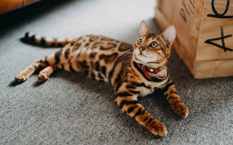 The best Bengal cat care experience