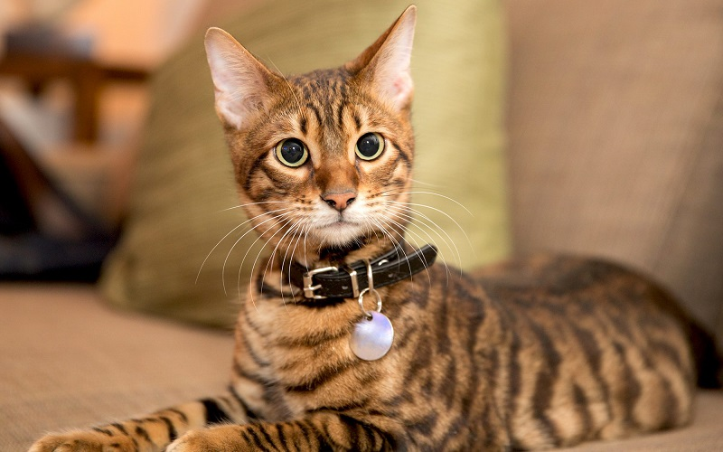 Toyger Cat Cost, How to Choose, Facts, Care, History